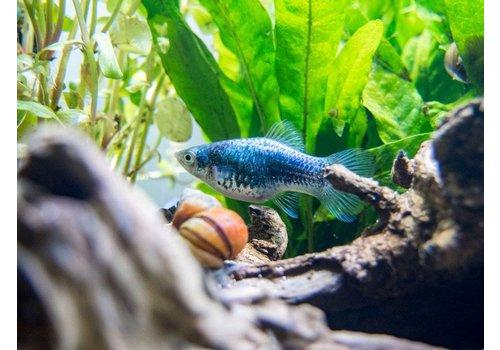 Platy Blue