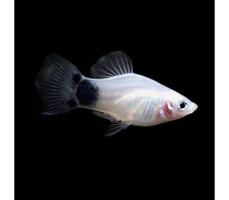 Platy Black/White - Xiphophorus Maculatus