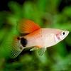 Platy Red Top - Xiphophorus Maculatus