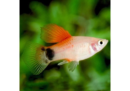 Platy Red Top
