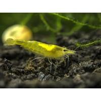 Citroen Garnaal - Neocaridina Davidii 'Yellow'