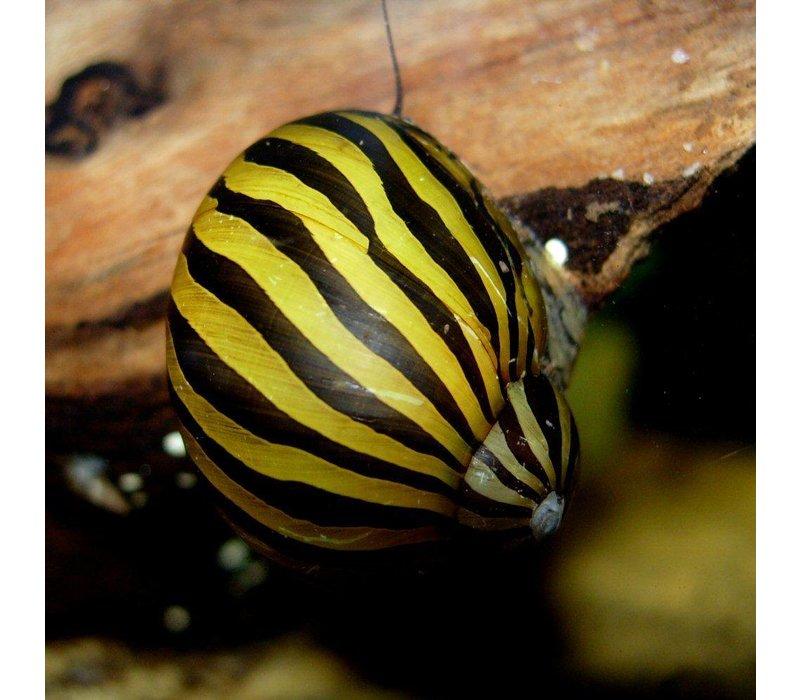 Zebra Nerite Snail - Neritina Natalensis