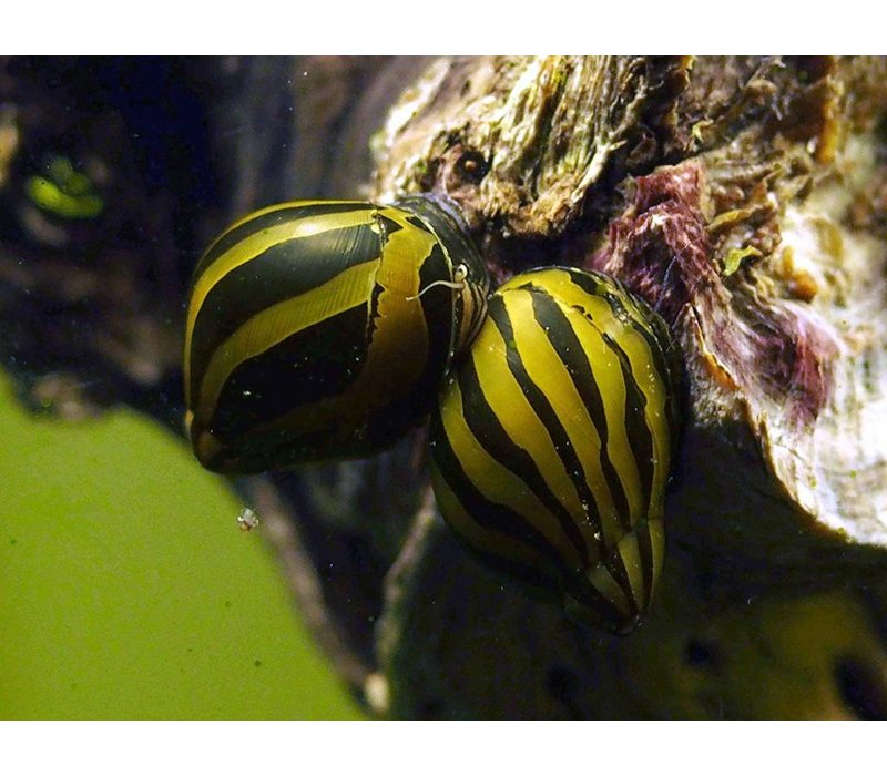 Zebra Slak - Neritina Natalensis