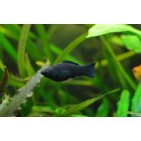Black Molly - Poecilia Sphenops