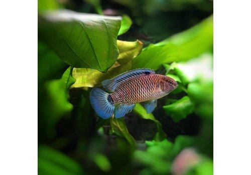 Blue Badis