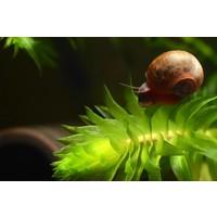 Ramhorn Snail - Planorbarius Corneus