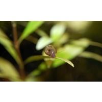 Posthoornslak - Planorbarius Corneus