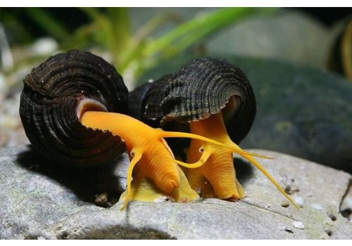 Orange Rabbit Snail