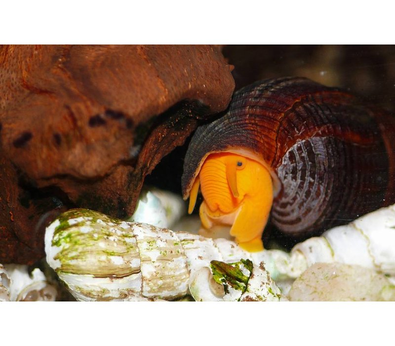 Orange Rabbit Snail - Tylomelania Sp. Orange