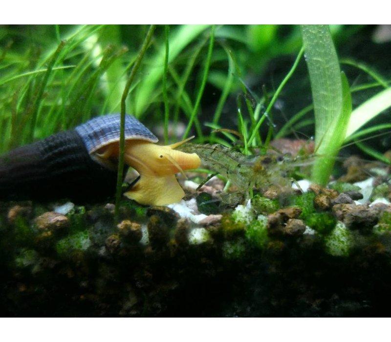 Oranje Rabbit Slak - Tylomelania Sp. Orange