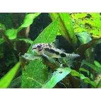 Salt and Pepper Catfish - Corydoras Habrosus