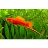 Red Swordtail - Xiphophorus Helleri