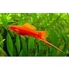 Zwaarddrager Rood - Xiphophorus Helleri