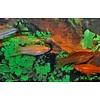 Zwaarddrager Mix - Xiphophorus Helleri