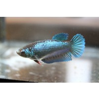 Betta Vrouw - Betta Splendens