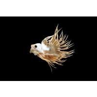 Betta Crowntail Male - Betta Splendens