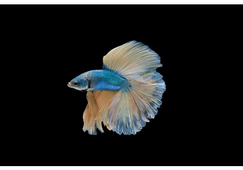 Betta Halfmoon Male