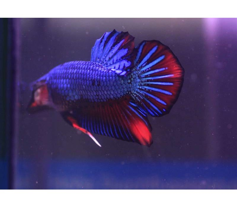 Betta Platinum Plakat Man - Betta Splendens