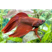 Betta Veiltail Male - Betta Splendens