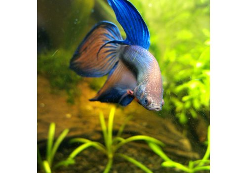 Betta Veiltail Male