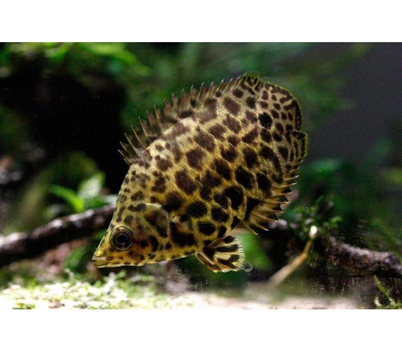 Luipaard Gourami - Ctenopoma Acutirostre