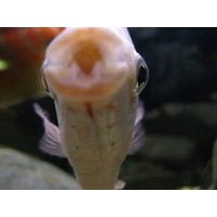 Kissing Gourami - Helostoma Temminckii