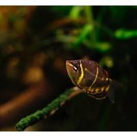Chocolate Gourami - Sphaerichthys Osphromenoides