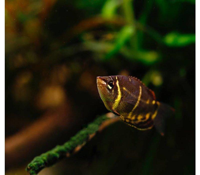 Chocolade Gourami - Sphaerichthys Osphromenoides