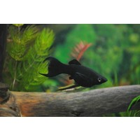 Black Molly (Lyretail) - Poecilia Sphenops