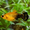 Molly Gold Dust - Poecilia Sphenops