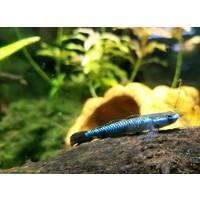 Blue Neon Goby - Stiphodon Atropurpureus
