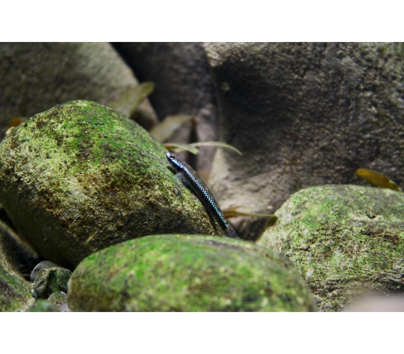 Stiphodon Blue - Stiphodon Atropurpureus