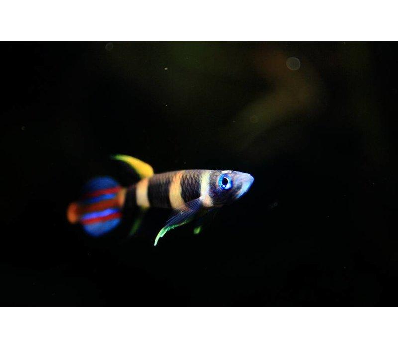 Clown Killifish - Epiplatys Annulatus