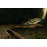 Knor Gourami - Trichopsis Pumila
