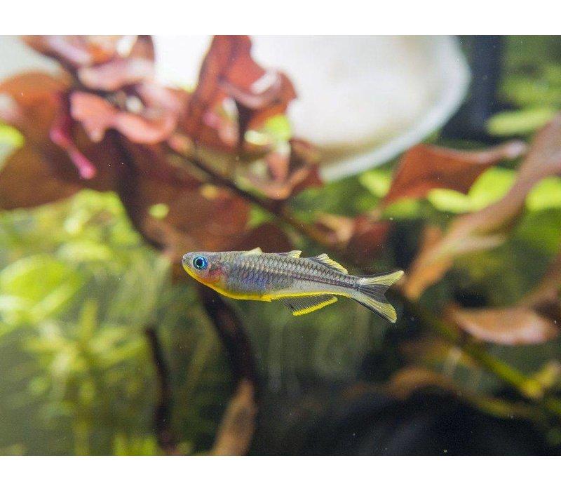 Forktail blue-eye - Pseudomugil Furcatus