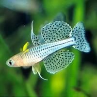 Spotted blue-eye - Pseudomugil Gertrudae