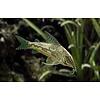 Corydoras Barbatus - Scleromystax barbatus