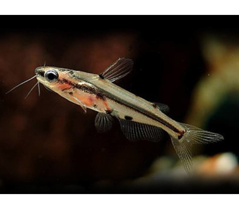 Shadow Catfish - Hyalobagrus flavus