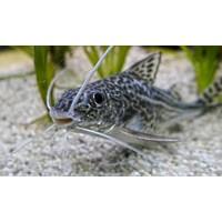 Pictus Catfish - Pimelodus Pictus