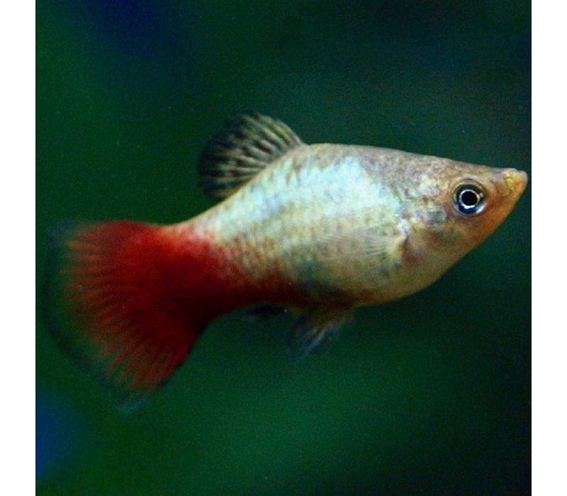 Platy Rainbow - Xiphophorus Maculatus
