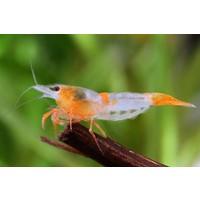 "Orange Rili Shrimp - Neocaridina Davidi Var. ""Orange Rili"""