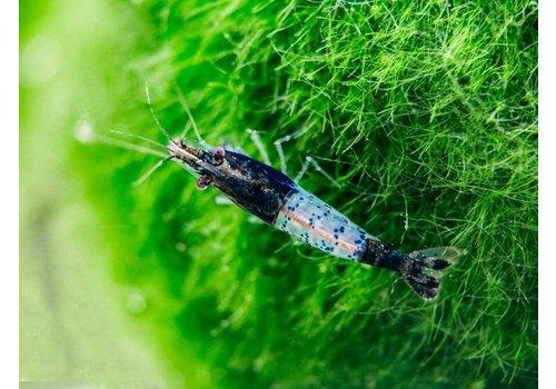 Carbon Rili Shrimp
