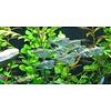 Black-winged Hatchetfish - Carnegiella Marthae