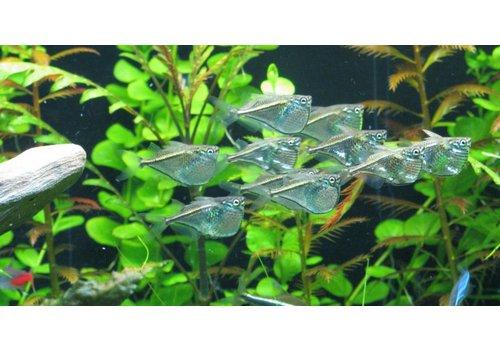 Black-winged Hatchetfish