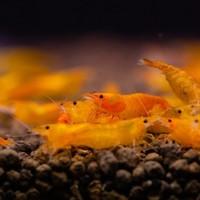 Mandarin Shrimp - Neocaridina Sp.Propinqua