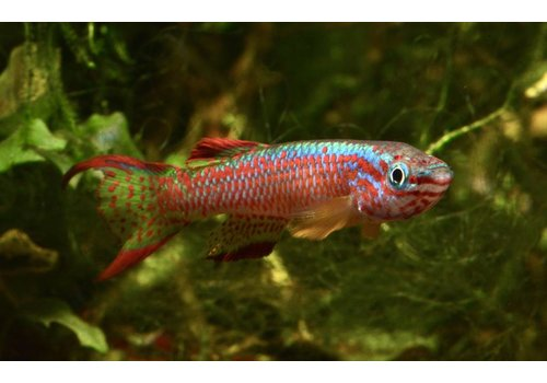 Gabon Killifish