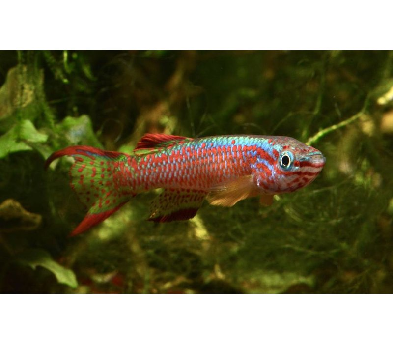 Gabon Killifish - Aphyosemion Gabunense