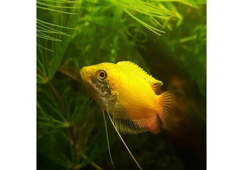 Honey Gourami (Gold)