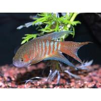 Paradisefish (Red) - Macropodus Opercularis Red
