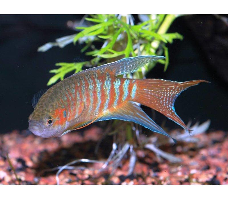 Paradijsvis (Rood) - Macropodus Opercularis Red